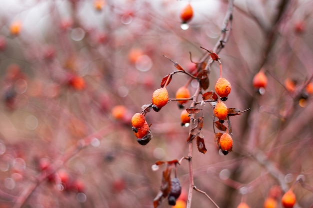 Rosehip berries on bush close-up. alternative medicine, berry picking for winter time. natural vitamin