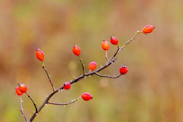 Ветка шиповника с красными ягодами и острыми шипами