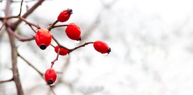 Ветка шиповника с красными ягодами зимой на белом фоне