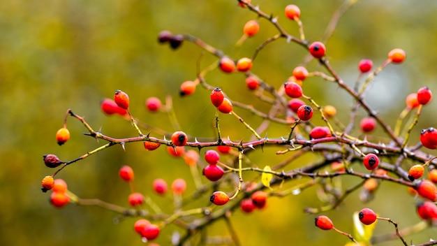 Ветка шиповника с красными ягодами на размытом фоне