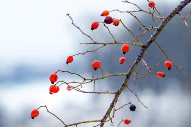 Ветка шиповника с красными ягодами на размытом зимнем фоне