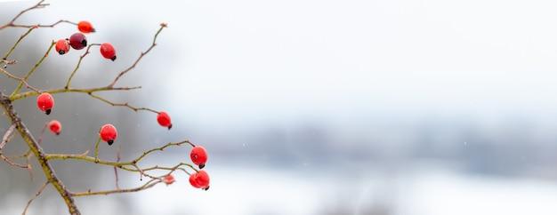 Куст шиповника с красными ягодами на фоне зимнего пейзажа, копией пространства