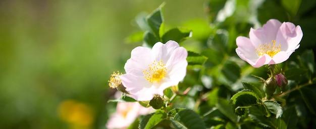 필드에 로즈힙 꽃
