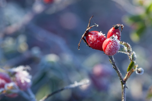 ローズヒップの葉と霜でベリー。霜が降る野バラの低木。秋に初霜。 dogroseの枝に霜。