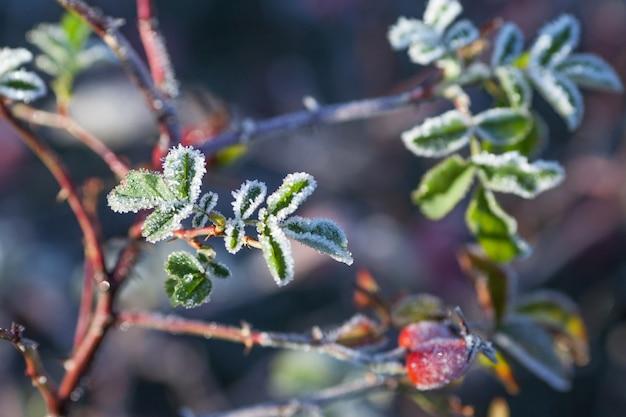 Листья и ягоды шиповника с инеем. первые заморозки осенью.