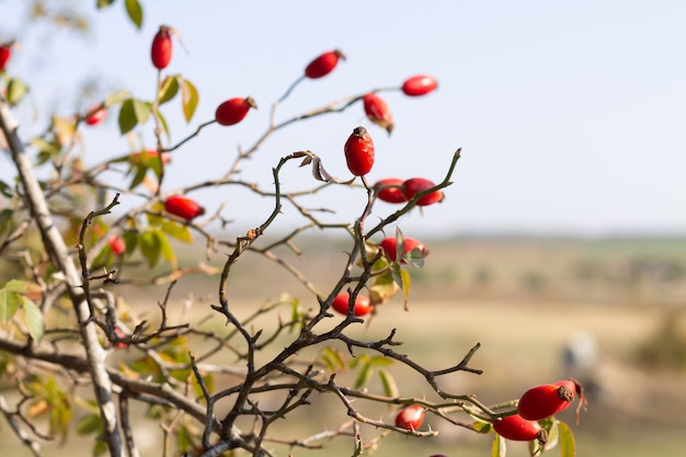 茂みにローズヒップの赤い果実。免疫力を高める薬用植物
