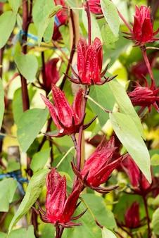 자연 배경에 rosella 과일 나무입니다.