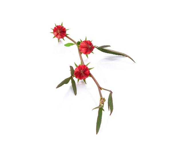 Roselle 과일, 히비스커스 sabdariffa 빨간색 흰색 공간에 고립.