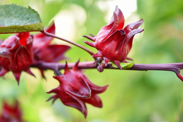 Roselle fruits plant on tree in the garden with green leaf background - red roselle for health drink natural herbs , hibiscus sabdariffa