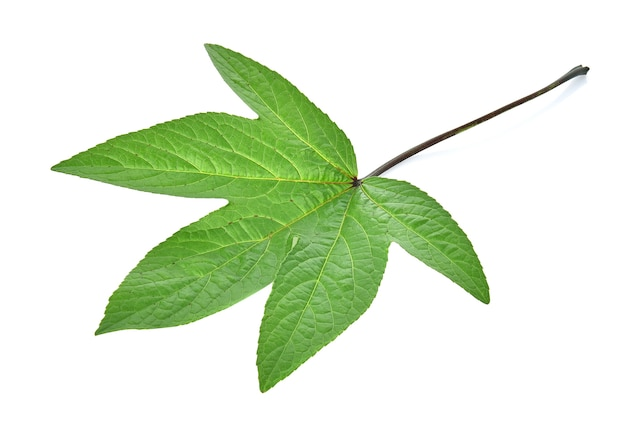 Roselle leaves on white background