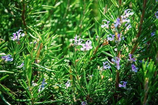 Куст розмарина с мелкими голубыми цветками