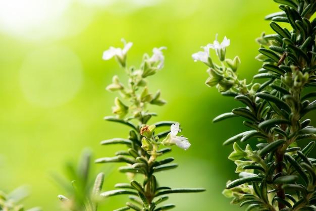 Цветы розмарина и зеленые листья на фоне природы.