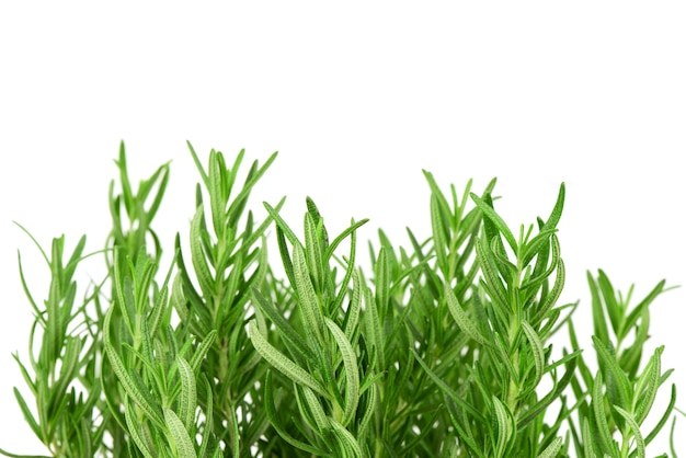 Rosemary flowers and green leaves isolated.