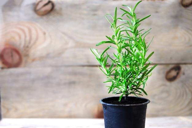 ローズマリーは鍋で育ちます。木製の表面に新鮮なローズマリーの鍋。エコのコンセプト。エコフード。