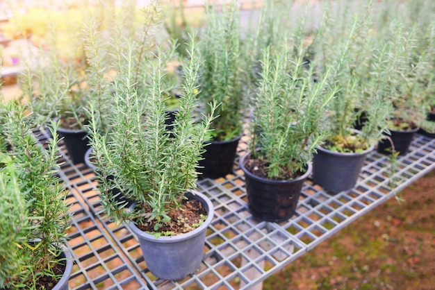Rosemary plant growing in the garden for extracts essential oil. fresh rosemary nature herbs in the nursery greenhouse