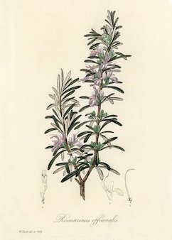 Rosemary (rosmarinus) officinalis illustration from medical botany (1836)