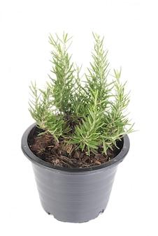 白い背景に分離されたプラスチックの黒い植木鉢にローズマリーの木の植物