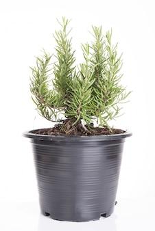 Rosemary tree plants in plastic black flower pot isolated over white background