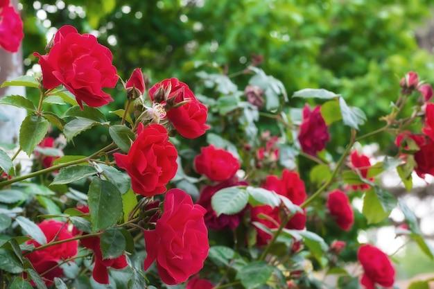 Кусты роз в саду