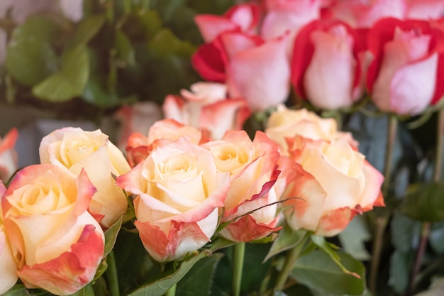 Roses close-up in a flower shop against the background of other plants and flowers.