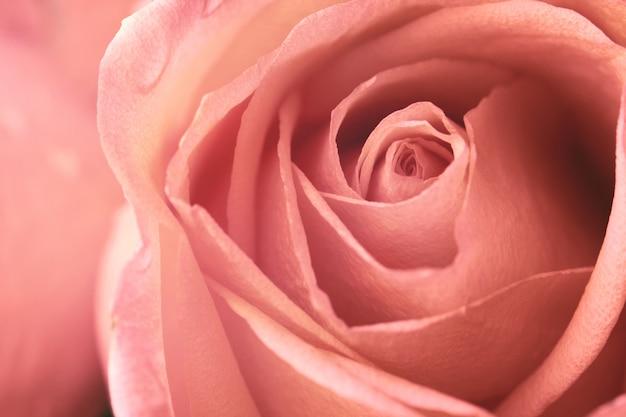 Roses,flower for valentine's day.