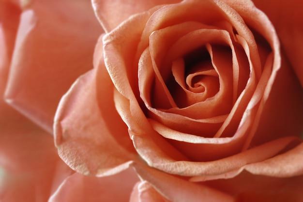 Roses flower  for valentine's day.