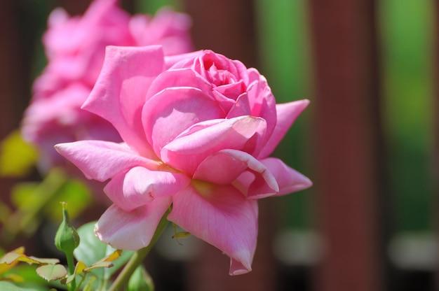 정원 집에서 장미입니다.