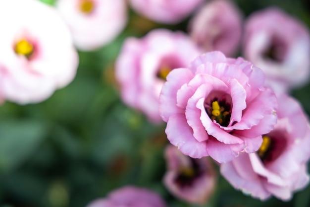 庭のバラ、美しい晴れた日で美しいバラ。