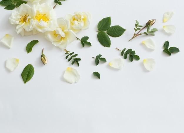 흰색 배경에 장미