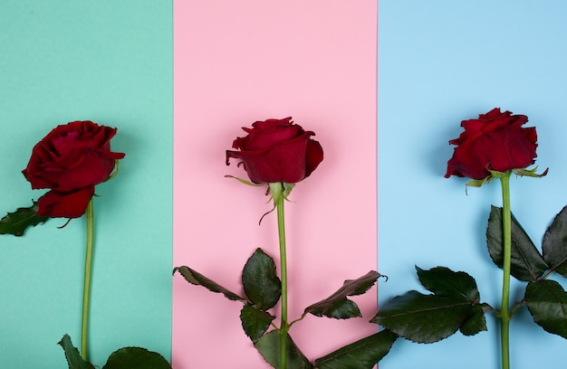 Roses on a paper background of pastel colors