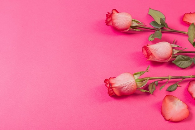 Roses on pink paper background