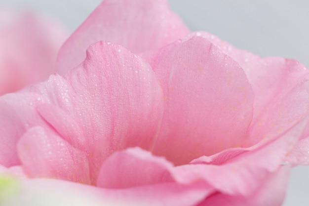 Roses pink petals on grey background