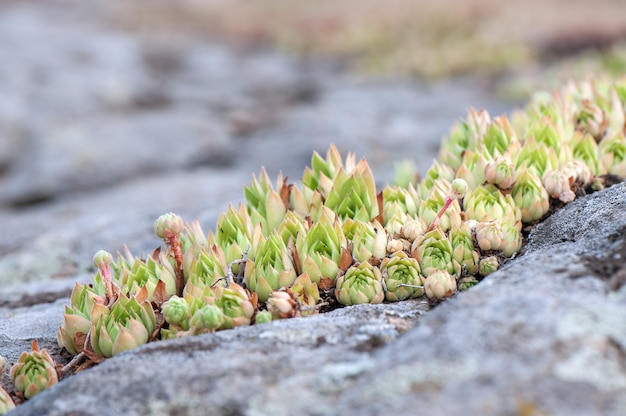 Rosettes of some wild succulent plant growing on the rocks.