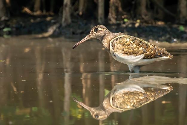 Большая раскрашенная бекаса птица (rostratula benghalensis) ищет пищу в болоте. птица. животные.