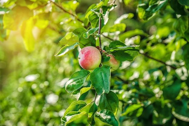 Розовые яблоки растут на ветке в саду