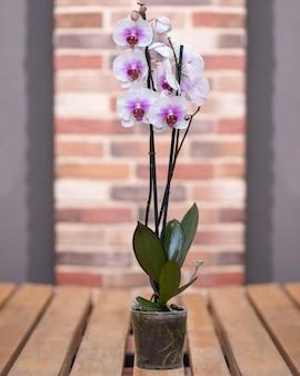 バラ色の蛾の蘭、胡蝶蘭