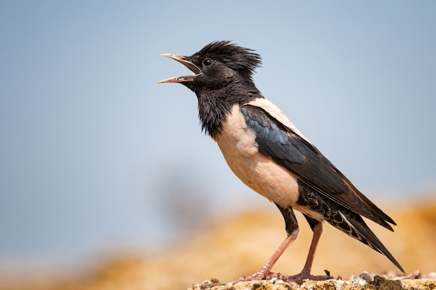 Rosy starling sits on a stone with open beak