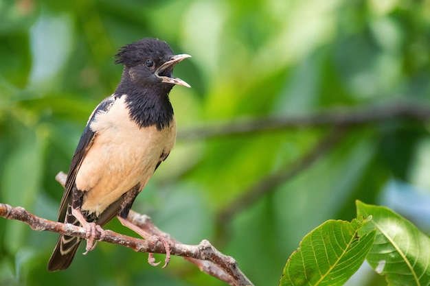 Rosy starling sitting on a branch with open beak