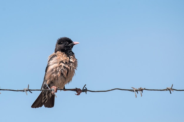 The rosy starling (sturnus roseus) sits on a barbed wire against the sky.