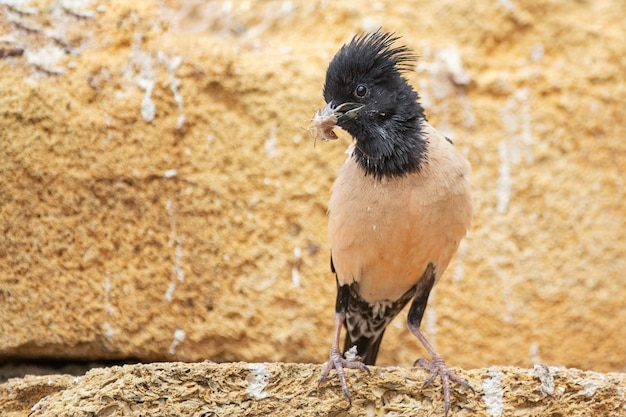 The rosy starling (sturnus roseus) sits on a stone with a bunch of grasshoppers in its beak.