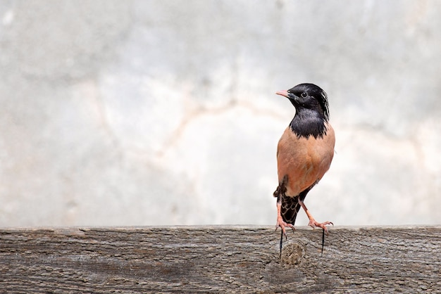 Rosy starling (sturnus roseus) stands on wooden board