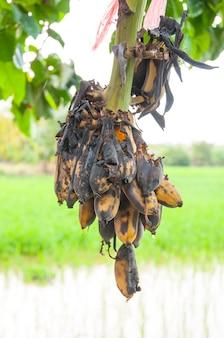 썩은 바나나 나무에 매달려