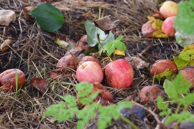 Rotten fallen apples decay food waste  fall autumn compost decomposing biodegradable