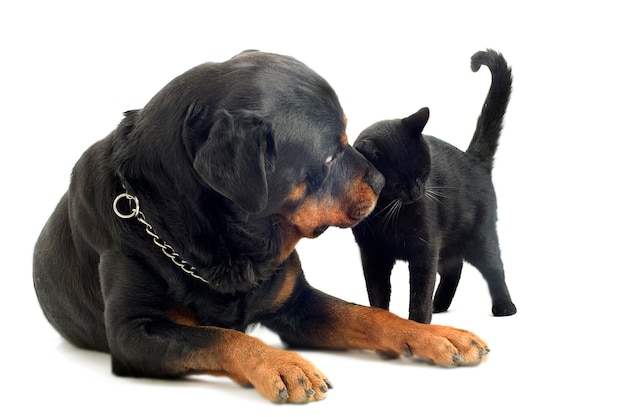Rottweiler and cat
