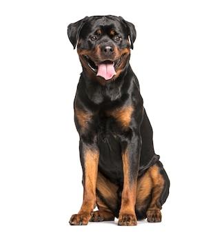 ロットワイラー犬のお座りとあえぎ、カットアウト