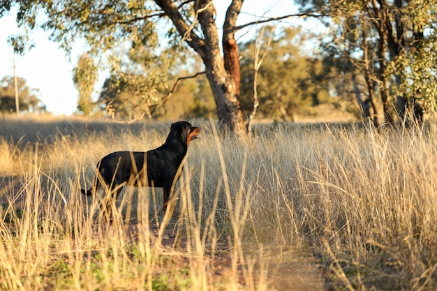 Собака ротвейлера стоит в золотом дневном свете, любуясь горным пейзажем