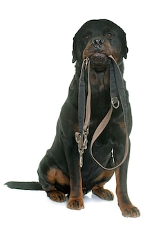 Rottweiler holding his leash