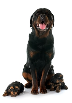 Rottweiler and puppies