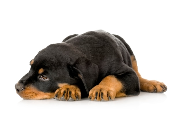 Rottweiler puppy portrait isolated