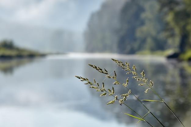 川のある自然の風景のぼやけた背景にラフブルーグラスまたはポアトリビアリス芝生草ハーブ植物。